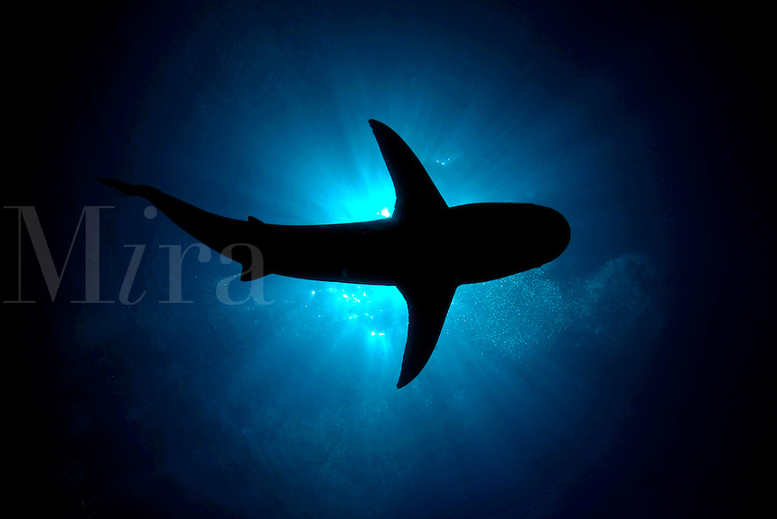 SILHOUETTE OF A CARIBBEAN REEF SHARK  Carcharhinus perezi  BAHAMAS Caribbean Reef Sharks Carcharhinus perezi Nassau Bahamas teeth predator dangerous menacing deadly hazardous cartilaginous horizontal scary carcharhiniformes Viviparous underwater marine danger
