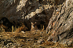 Mountain lion cub resting outside den in the National Elk Refuge in Jackson, WY