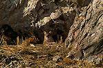 Mountain lion cub resting outside den in the National Elk Refuge in Jackson, WY