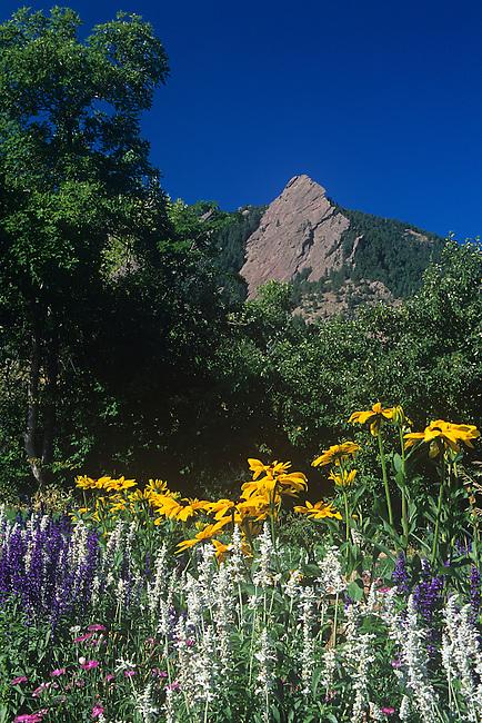 Black-eyed Susans, Flatirons, Boulder, Colorado