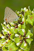 345100003 a wild gray hairstreak butterfly strymon melinus perches on antelope horns wildflowers ascelpias asperula in southeast metropolitan park austin travis county texas united states