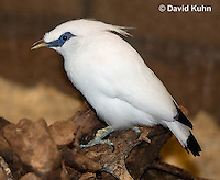 1113-0805  Bali Starling (Bali Mynah), Critically Endangered Bird, Leucopsar rothschildi © David Kuhn/Dwight Kuhn Photography