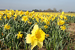 The Daffodil Farm in Julianstown that supplies the fresh Daffodils for Daffodil Day...Photo NEWSFILE/Jenny Matthews.(Photo credit should read Jenny Matthews/NEWSFILE)....This Picture has been sent you under the condtions enclosed by:.Newsfile Ltd..The Studio,.Millmount Abbey,.Drogheda,.Co Meath..Ireland..Tel: +353(0)41-9871240.Fax: +353(0)41-9871260.GSM: +353(0)86-2500958.email: pictures@newsfile.ie.www.newsfile.ie.FTP: 193.120.102.198.