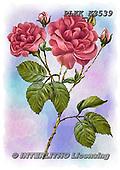 Kris, FLOWERS, BLUMEN, FLORES, paintings+++++,PLKKK3539,#f#, EVERYDAY ,rose,roses