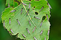 Non-biting Midges (chironomidae family) roosting on Eastern Cottonwood leaf provide food source for migrating songbirds, spring, Lake Erie region, North America.