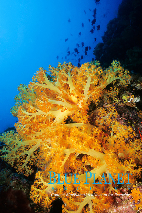 Tree coral, Dendronephthya sp., Sahuang, Bangka Island, Sulawesi, Indonesia, Pacific ocean