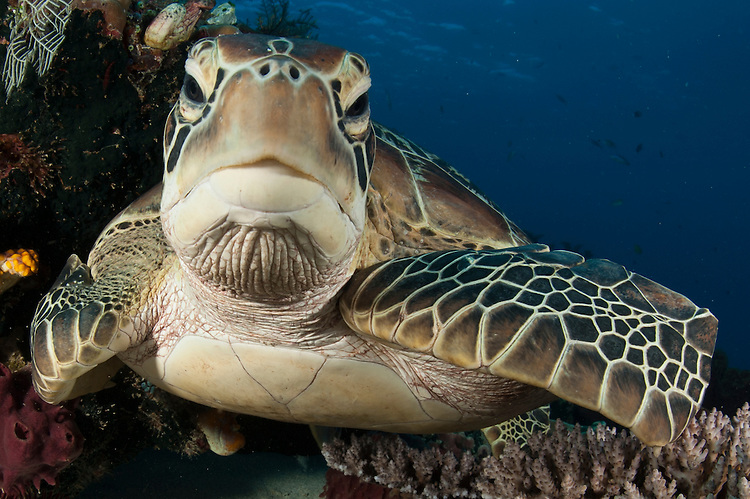 Green turtle: Chelonia mydas, resting on a reef top, close up view. Taken in Komodo National Park