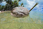 Sprouting coconut floating in the ocean, Yap, Micronesia.