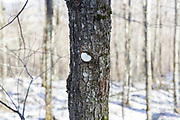 Round metal tag on hardwood tree for some kind of research / survey project in Lafayette Brook Scenic Area in Franconia, New Hampshire.