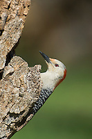 597990013 a wild male red-bellied woodpecker perches on a dead mesquite tree in the small town of lipscomb texas