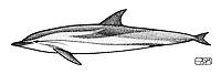 Striped dolphin, Stenella coeruleoalba, lateral view, pen and ink illustration.