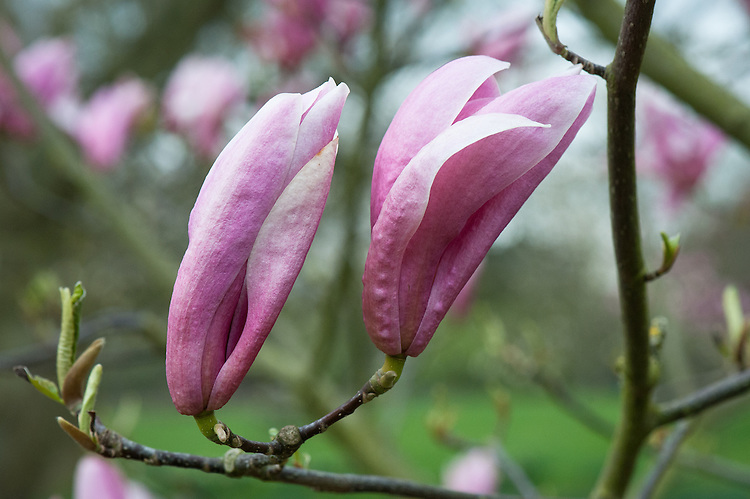 Magnolia 'Tonia', late March.