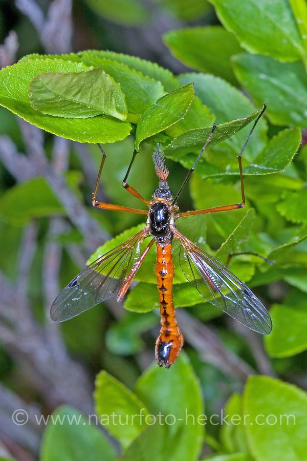 Schwarze Kammschnake, Holzschnake, Männchen, Tanyptera atrata, giant sabre comb horn cranefly, male, La Tanyptère noire, crane fly, crane-fly, Schnaken, Tipulidae, crane flies, crane-flies, daddy-long-legs