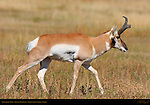 Pronghorn Male, Lower Mammoth, Yellowstone National Park, Wyoming
