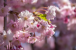 Sargent Cherry tree at the Arnold Arboretum in the Jamaica Plain neighborhood, Boston, Massachusetts, USA
