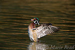 Wood Duck (Aix sponsa) male flapping its wings, Orange County CA