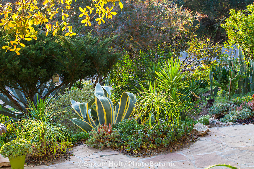 Mixed border of succulents - Agave americana 'Marginata' with Beaucarnea recurvata, Ponytail Palms , Yucca aloifolia, Spanish Dagger and low growing Aeoniums in Debra Lee Baldwin Southern California garden