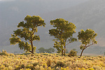 Summer, cottonwood trees in the Carson Valley against the looming Carson Range, Nev.