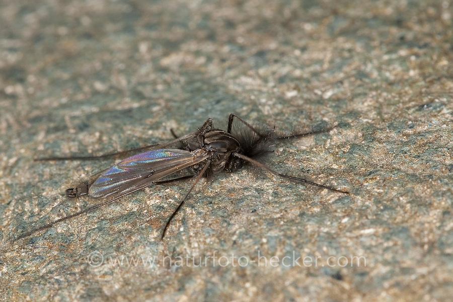 Zuckmücke, Zuckmücken, Tanzmücke, Schwarmmücke, Tanzmücken, Schwarmmücken, Männchen mit büscheligen Antennen, Chironomidae, Unterfamilie Tanypodinae, nonbiting midges, nonbiting midge, chironomids, chironomid, non-biting midges