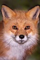 630749033 portrait of a wildlife rescue red fox vulpes vulpes - species is introduced into north america from europe