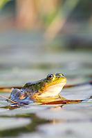 Green (bronze) frog Lithobates clamitans or Rana clamitans