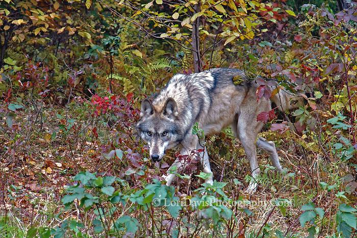 Autumn Wolf  #Z13