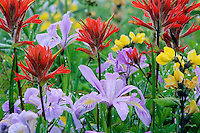 Purple Iris, paintbrush and golden pea in southern Cascade Mountains of Washington State.  June.