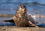 USA; California; La Jolla; San Diego; A baby seal coming ashore in Children's Pool in La Jolla