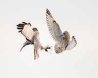 A Short-eared Owl confronts a Northern Harrier that just stole its vole.