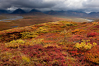 Autumn landscape of the colorful crimson colored tundra and Alaska mountain range in Denali national park.