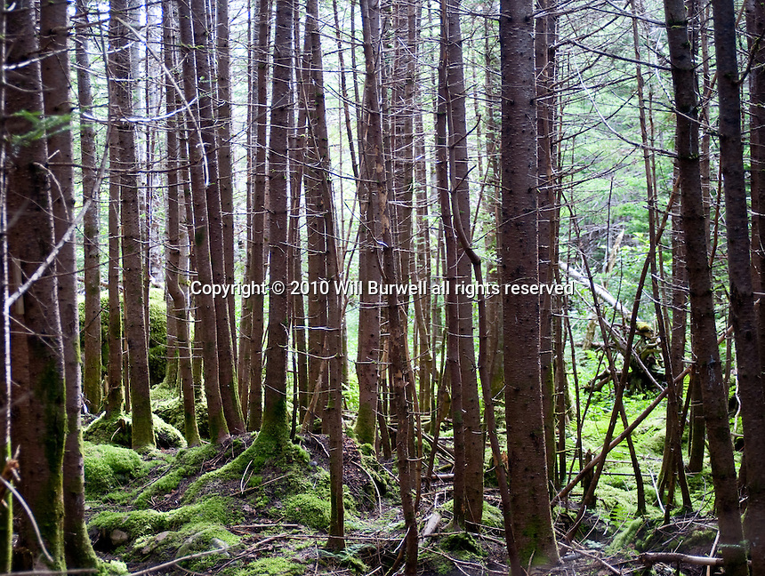 Spruce Trees Gors Morne Mountain
