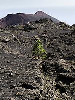 A lonely pine tree grows on the volcanic ground between the two volcanos San Antonio and Teneguia (in the background) on the Canary Island of La Palma.