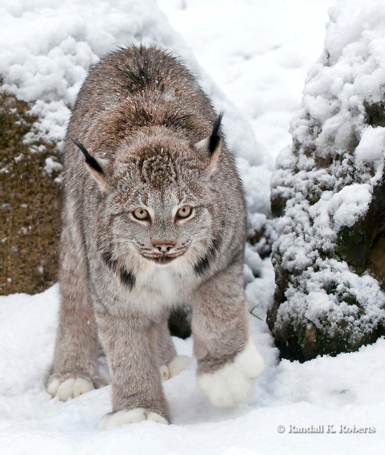 Lynx (captive), Alaska