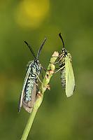 Common Forester - Adscita statices