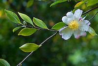 Camellia blossom close-up