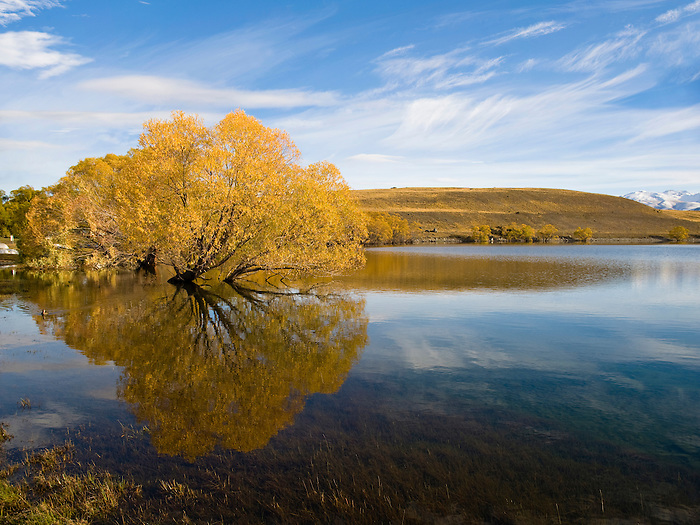 Golden Autumn Tree Reflection in the Still Morning Water of Lake Alexandrina, South Island, New Zealand. This photo of an autumn tree reflection in the calm waters of early morning Lake Alexandrina was taken at the department of conservation campsite just outsite Lake Tekapo. One of the most beautiful campsites in New Zealand without a doubt, especially in the autumn time with the banks lined with golden autumn trees.