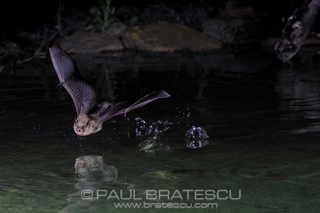 Bat drinking water