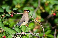 01415-02910 Cedar Waxwing (Bombycilla cedrorum) in Serviceberry Bush (Amelanchier canadensis), Marion Co., IL