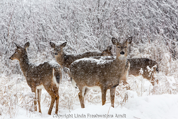 White-tailed deer during a snowstorm