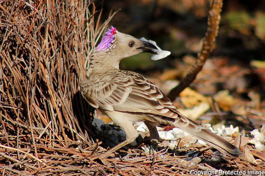 Great Bowerbird (male), Keep River National Park, Northern Territory