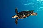 Eretmochelys imbricata, Hawksbill sea turtle, Roatan