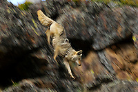 Wild Coyote (Canis latrans) coming down, rocky cliff face.  Western U.S., June.