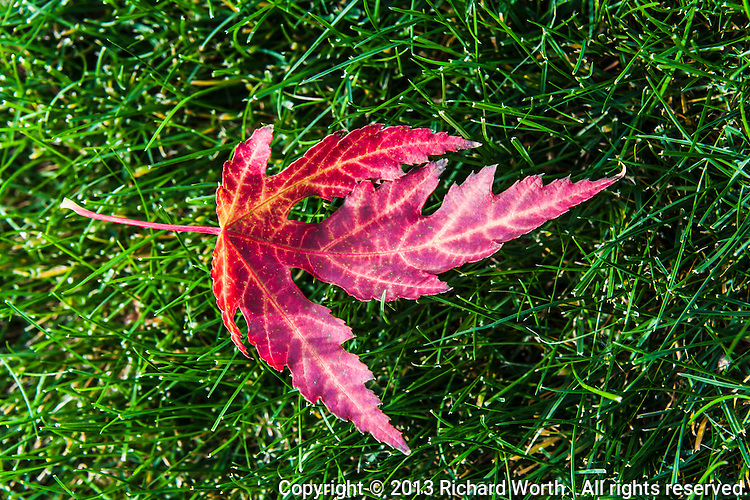 A maple leaf in autumn's brilliant red lies on green grass in a Colorado backyard..