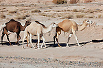 Group of dromedaries (camels) in the Sahara desert, Morocco.