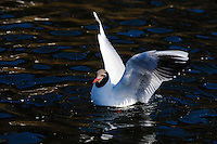 Norway, Stavanger. Common Blackheaded Gull at Mosvannet lake.