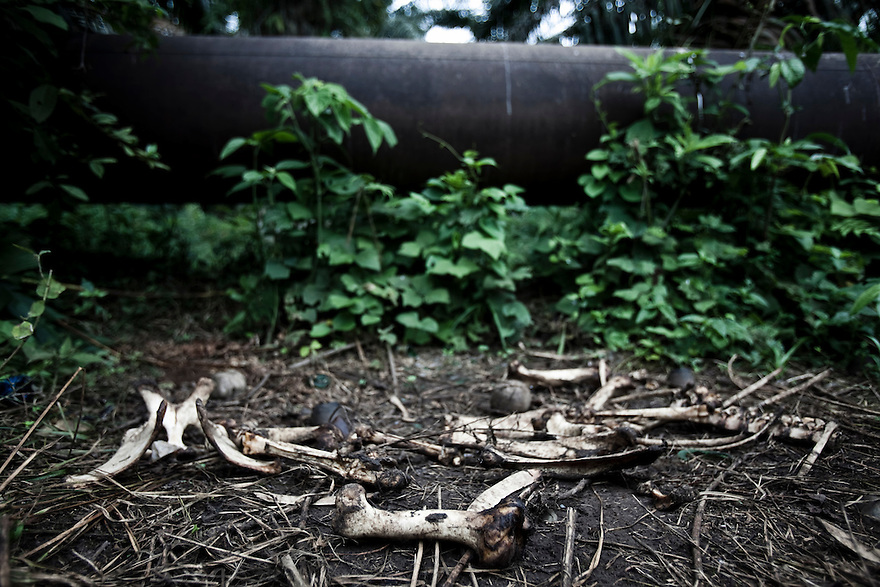 The remains of a dead cow lay fallen in front of one of numerous oil pipelines that run through the Amazon in northern Ecuador.