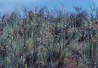 Wildflowers after a burn, Santa Monica Mts.