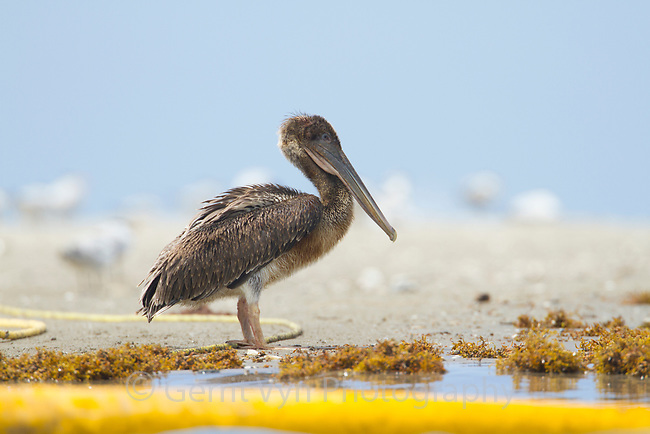 An oiled and emaciated young Brown Pelican (Pelecanus occidentalis) stands on the beach near a nesting colony awaiting death. Many young birds, even those lightly oiled, will be unable to make the transition to feeding themselves at sea as the result of oil damaged plumage. This bird and its nesting colony were oiled by the BP Deepwater Horizon oil leak in the Gulf of Mexico. Raccoon Island, Terrebonne Parish, Louisiana. July 2010.