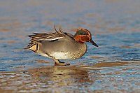 Teal - Anas crecca - male