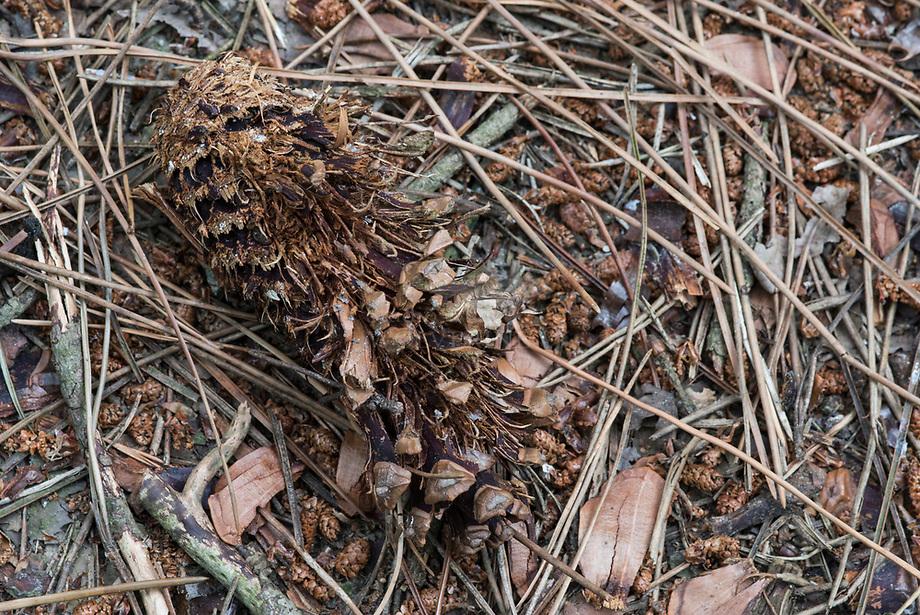 Zeeden (Pinus pinaster), dennenappel open gehakt door specht